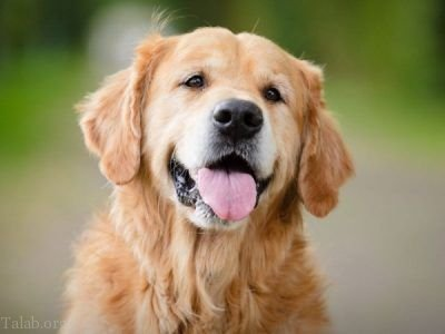 فروش توله های گلدن رت ریور سگ مهربان و سگ پرستار
